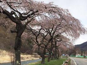 木祖村 桜