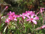 芝桜1a.jpg(春)