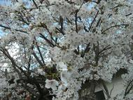 GEDC0850-1.jpg(満開の桜)