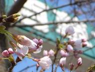 Kisoch2.jpg(ようやく桜・・・)