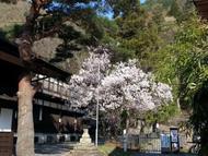 Cherryn1.jpg(桜の開花)