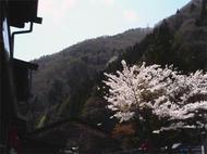 Naraich1.jpg(奈良井店の桜)