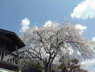 Otakiche.jpg(王滝の桜(2))