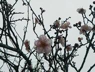 hino_blog_201903_ume.jpg(雨降りの梅)