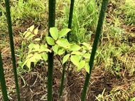 hino_blog_20190628_kihada_4.JPG(「キハダの植樹」)