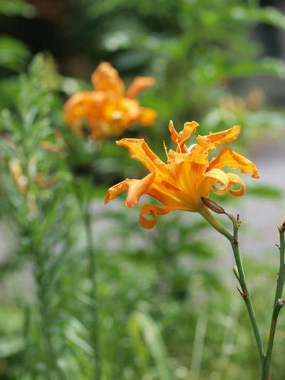 P7253487.jpg(猛暑に咲く花)